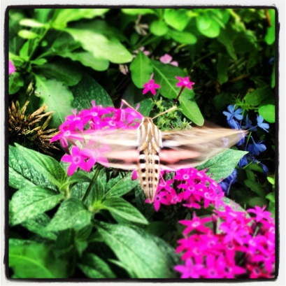 My run view 9/18/13 - A hummingbird moth - Westwood, Ks. © Sally Morrow Photography